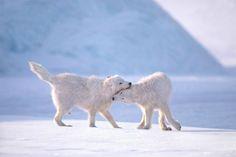 Cariño entre lobos, foto de Jim Brandenburg