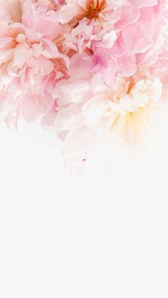 розовые пионы, творческие пионы, розовый цветок, большой цветок PNG Image and Clipart