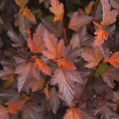 Coppertina™ Ninebark /  Physocarpus opulifolious >> Coppery orange foliage all season long; white-pink flowers in early summer; fall itnerest; drought tolerant; 6'-8' tall and even wider; full sun; zone 3-8.