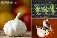 Homegrown Garlic: How to Harvest and Store via HealthCastle.com