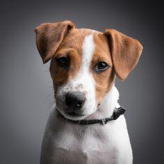 Jack russell terrier Portrait \