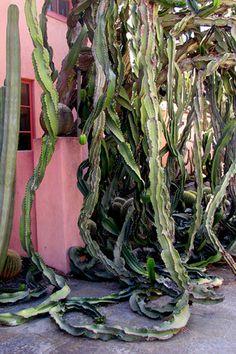 Large weeping Euphorbia ingens at Lotusland, Santa Barbara