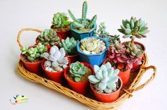 What an adorable display of tiny succulents!