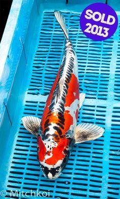6 carolina blue shusui live koi fish pond garden bkd for Scott and white fish pond