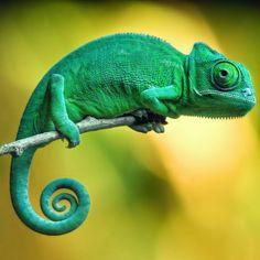 El camaleón, una mascota para expertos