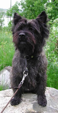 Brindle Cairn Terrier -