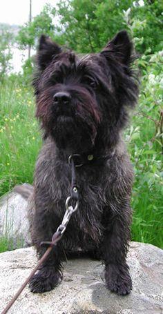 Brindle Cairn Terrier -