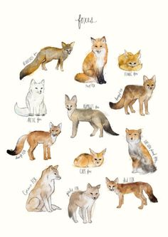 A chart featuring the Blanford's fox, Red fox, Fennec fox, Arctic fox. Animal Drawings, Art Drawings, Animal Illustrations, Art Fox, Animals Tattoo, Fuchs Illustration, Fuchs Tattoo, Spirit Animal, Framed Art Prints