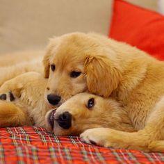 Fuzzy&Lily *  #ilovegolden_retrievers #pets_perfection #my_loving_pet #dogs_of_instagram #golden_retrieverlovers #pupdoggydog #meowvswoof #bestwoof #dog_features #dogsofinstagram #ilovemydog #puppytales #instagramdogs #dogstagram #nature_cuties #FurrendsUpClose  #goldens_ofinstagram #igclub_dogs #gloriousgoldens #instadog #goldenretriever #puppytrip #retrieversgram  #welovegoldens #Excellent_Dogs #puppiesforall  #lillyspicoftheweek #cutepetclub #bestfriends_dogs #Excellent_Puppies