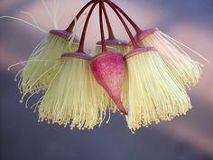 Eucalyptus synandra bud and blossom Australian Wildflowers, Australian Native Flowers, Bush Garden, Native Plants, Great Photos, Shrubs, Wild Flowers, Art Photography, Seeds