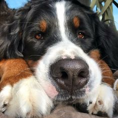 Jack is a two year old Berner and we love him, breeder Bermese Mountain Dog, Mountain Dogs, Pet Dogs, Dog Cat, Doggies, Cute Baby Animals, Animals And Pets, Cute Puppies, Dogs And Puppies