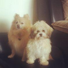 Mishka ( shihpoo) & Lucci ( pomeranian)