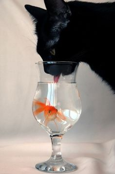 1000 images about des chats et des poissons on pinterest for Aquarium 30l combien de poisson rouge