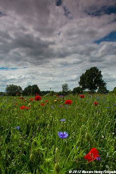 Poppies and Cornflowers near Margraten  Photo © Maurice Hertog Fotografie