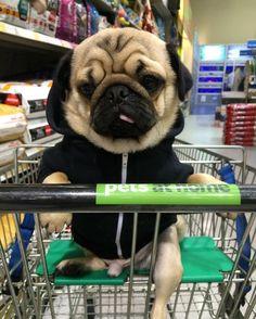 regram @alfiethepug_beat YESSSSSSS!!! We went to Pets at Home  #purepugspp #pug #pugs #pugsofinstagram #pugbasement #pugsproud_feature #badasspugclub #bubblebeccahat #cupcake_pug #dailydoseofpugs #eddthepug #flatnosedogsociety #gilesfriends #heyportiapickme #henrys1inamillion #itslolathepug #lolasfotw #lacyandpaws #mysquishyliciousfriends #puglife #speakpug #squishyfacecrew #thetomcoteshow #zerozeropug by lonewolf_khujo