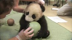 Panda Cub Has a Ball::12/2012 - The San Diego Zoo's panda cub, Xiao Liwu, was eager to play w/a plastic ball during his 18th exam. Panda keepers gave him the ball to test his coordination encourage him to play w/new objects. http://www.sandiegozoo.org/pandacam
