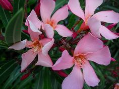 Oleander - one of the most poisonous plants
