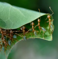 Weaver ants (Oecophylla smaragdina), found in the far north of Australia.  They create nests in the canopy using silk produced by their larvae.