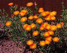 DorotheanthusBellidiformisOrnge600.jpg (600×480)