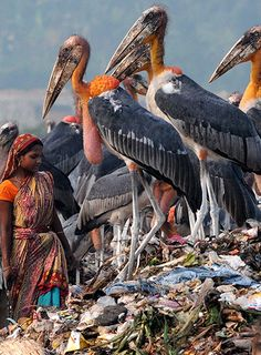 A group of greater adjutant storks at a rubbish dump on the outskirts of Guwahati city