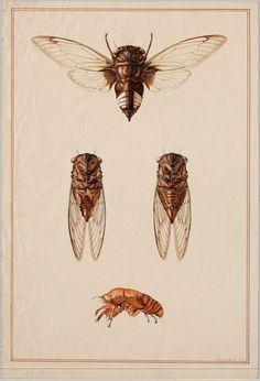 A cicada species. BibliOdyssey: Insect Wall Charts
