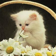 Persa - persas-gatos Foto