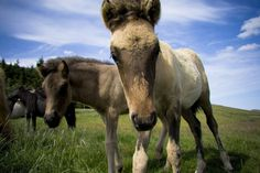 Icelandic Scene ~ Is That A New Camera?   Simply Marvelous Horse World