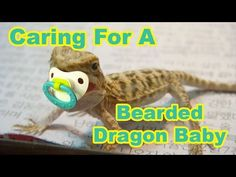 Bearded Dragon Baby Secrets: Caring For Your Baby Bearded Dragon - YouTube