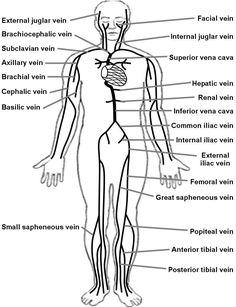 2f0d4dd284ef0a06124a73cadb5c9d7d unlabeled human skeleton diagram human anatomy organs pinterest