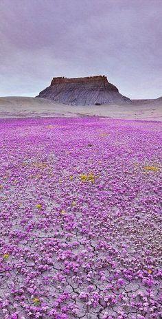 Turquoise Water, Twin Lagoon, Coron, Philippines Source It's a magic carpet of purple wildflowers in Mojave desert, Utah. Purple Wildflowers, Wild Flowers, Purple Flowers, Desert Flowers, Utah Adventures, Mojave Desert, All Nature, Magic Carpet, Parcs