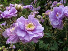 Geranium Pratense  Summer Skies  (agm) very pretty double sky blue blooms 1L pot