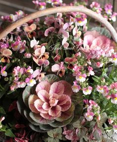 <i>Brassica</i><BR><BR>アンティークカラー!<BR>葉牡丹『あかね』<BR>葉脈ローズ色!   すべての商品     Junk sweet Garden tef*tef* ガーデニング雑貨・花苗
