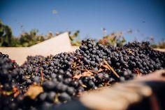 Wine Harvest 2014, Grillesino in making.