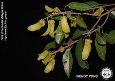 Vatica cuspidata - Fruiting twig.jpg