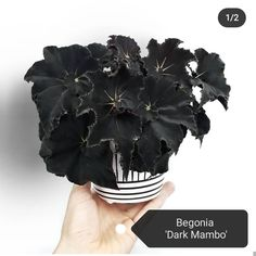 Rare Plants, Exotic Plants, Potted Plants, Indoor Plants, House Plants Decor, Plant Decor, Begonia, Household Plants, Gothic Garden