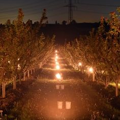 German farmer uses giant candles to protect peach trees from frost