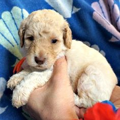 Gracie's Miniature Australian Labradoodle Puppies