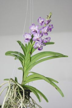 vanda-orchid strap leaf