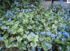 """Siberian Bugloss - Brunnera macrophylla - """"Jack Frost"""" Good for shade. Not to be confused with forget me nots. Jack Frost, Flowers Perennials, Planting Flowers, Shade Garden, Garden Plants, House Plants, Flower Garden Pictures, Clematis Montana, Plant Information"""