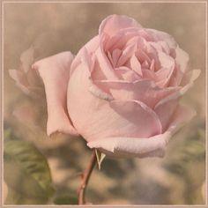 IMGP8364   *   Dreamy  Rose   of  May   *