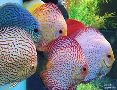 Colourful Varieties Of Discus Fish.