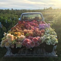 A truckload of dahlias in a rainbow of colors at Floret Flower Farm.