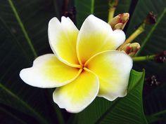 white plumeria Frangipani official national country flower laos