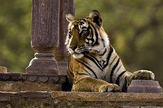 The Ranthambore National Park, Sawai Madhopur