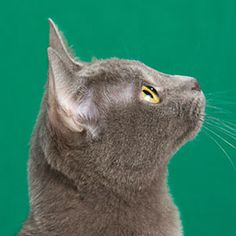 Comparing 3 Blue Breeds: The Chartreux, The Korat & The Russian Blue