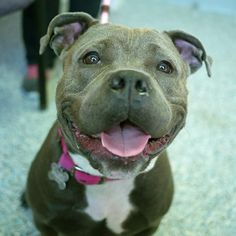 Frida is an adoptable Pit Bull Terrier searching for a forever family near East Hanover, NJ. Use Petfinder to find adoptable pets in your area.