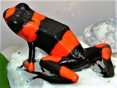 Red-banded Poison Dart Frog, Here's what I imagined for Russ Nature Animals, Animals And Pets, Cute Animals, Funny Frogs, Cute Frogs, Amazing Frog, Poison Dart Frogs, Dangerous Animals, Frog Art