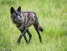 The Montana Department of Fish, Wildlife and Parks confirmed that Spitfire was killed legally less than five miles from Yellowstone's northeast entrance Montana National Parks, Yellowstone National Park, Yellowstone Wolves, Wild Wolf, Character Design Inspiration, Wildlife, Animals, Entrance, Babies