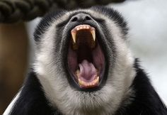 A black-and-white colobus yawns at the zoo in Krefeld, western Germany, Wednesday, April 4, 2012.