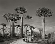 Esta fotografia foi feita quando Beth Moon seguia em direção ao mercado em Madagascar, em 2006. Segundo a fotógrafa, muitas das árvores que ela retratou só sobreviveram porque estão fora do alcance da civilização, isto é, nas encostas das montanhas, propriedades privadas ou em terra protegida. Fotografia: Beth Moon/Galeria FASS/São Paulo.